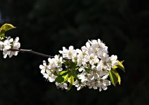 Kirschbluten